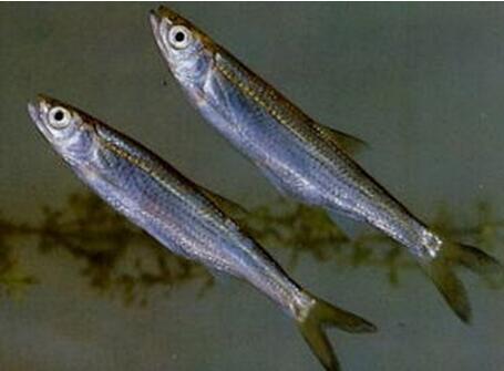 白條魚養殖