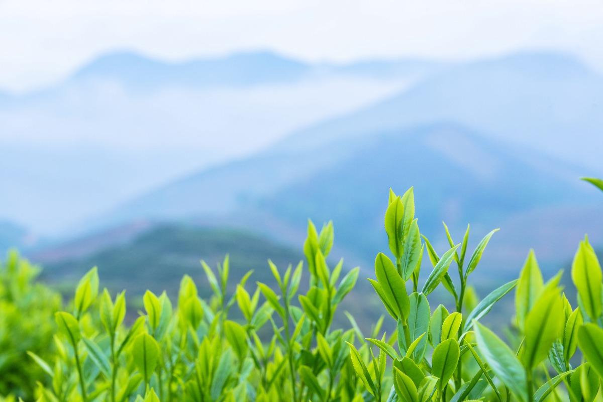 茶叶风景高清图图片