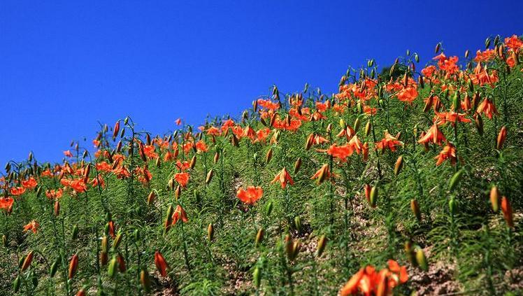 兰州百合属属多年生草本植物,学名为LiLum davidi var unicdor cotton因其地下茎块由数十瓣鳞片相叠抱合,有百片合成之意而得名。百合是一种有较高营养保健价值的蔬菜,有极高的食用价值。兰州百合含糖量高,粗纤维少,肉质细腻,还含有其它有益成分。始栽于明万历三十三年(1605年),至今已有400多年的历史。江苏宜兴(药百合)、甘肃兰州(甜百合全国解放以后,兰州百合的发展经历挫折,终于得到发展。1974年,原兰州市委书记王耀华曾在袁家湾村现场召开市委常委会,把该村定为百合基地村,解决
