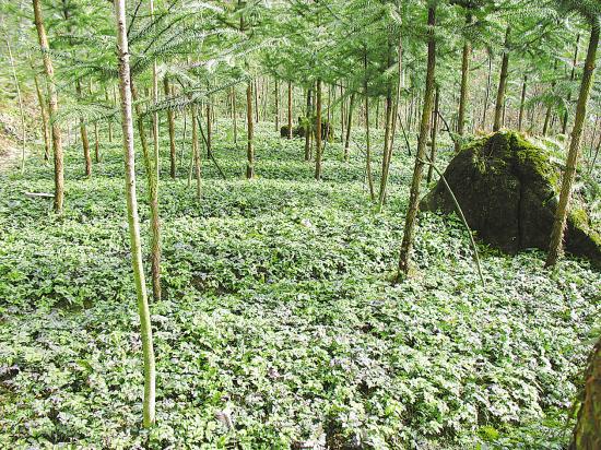 适合林下种植的药材有哪些
