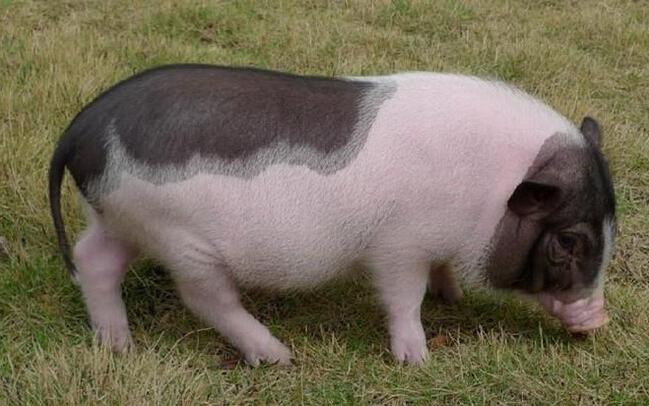 香猪养殖加盟赚钱吗热门新闻