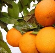 爱昕砂糖橘