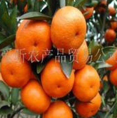 爱昕砂糖橘加盟图片