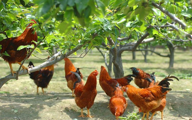 散养鸡加盟