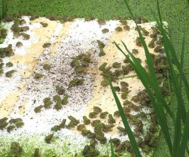 青蛙养殖加盟图片