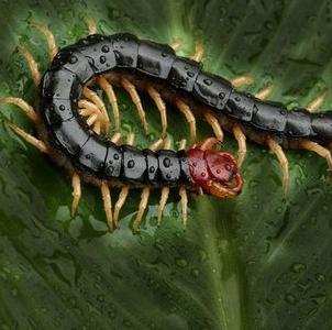 蜈蚣养殖加盟