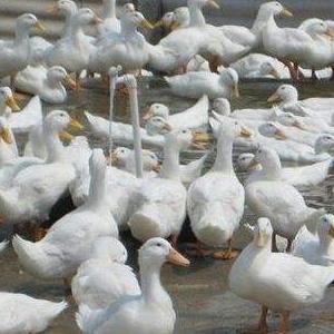 养鸭子诚邀加盟