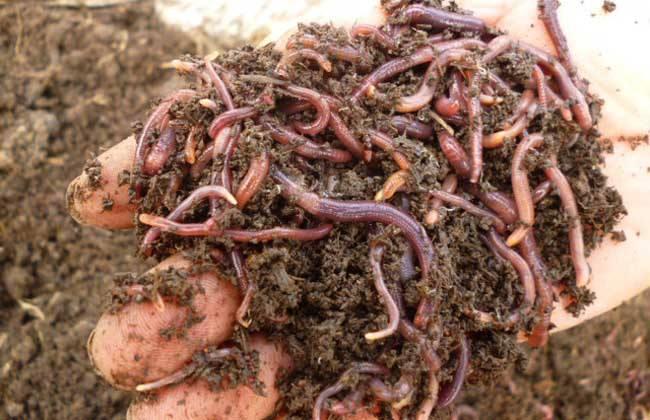 动物的一切营养需要,随着养殖业的持续发展,蚯蚓养殖也将随之发挥更大