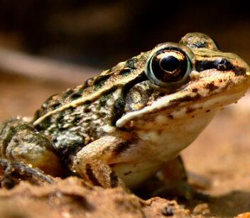 泰蛙杂交9号加盟图片