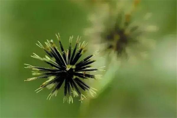 贵珍草种植加盟
