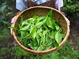 正山小种红茶加盟