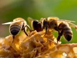 新西蘭蜂蜜